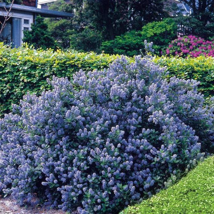 la haie fleurie id es cr atives pour l 39 ext rieur jardin pinterest jardins. Black Bedroom Furniture Sets. Home Design Ideas