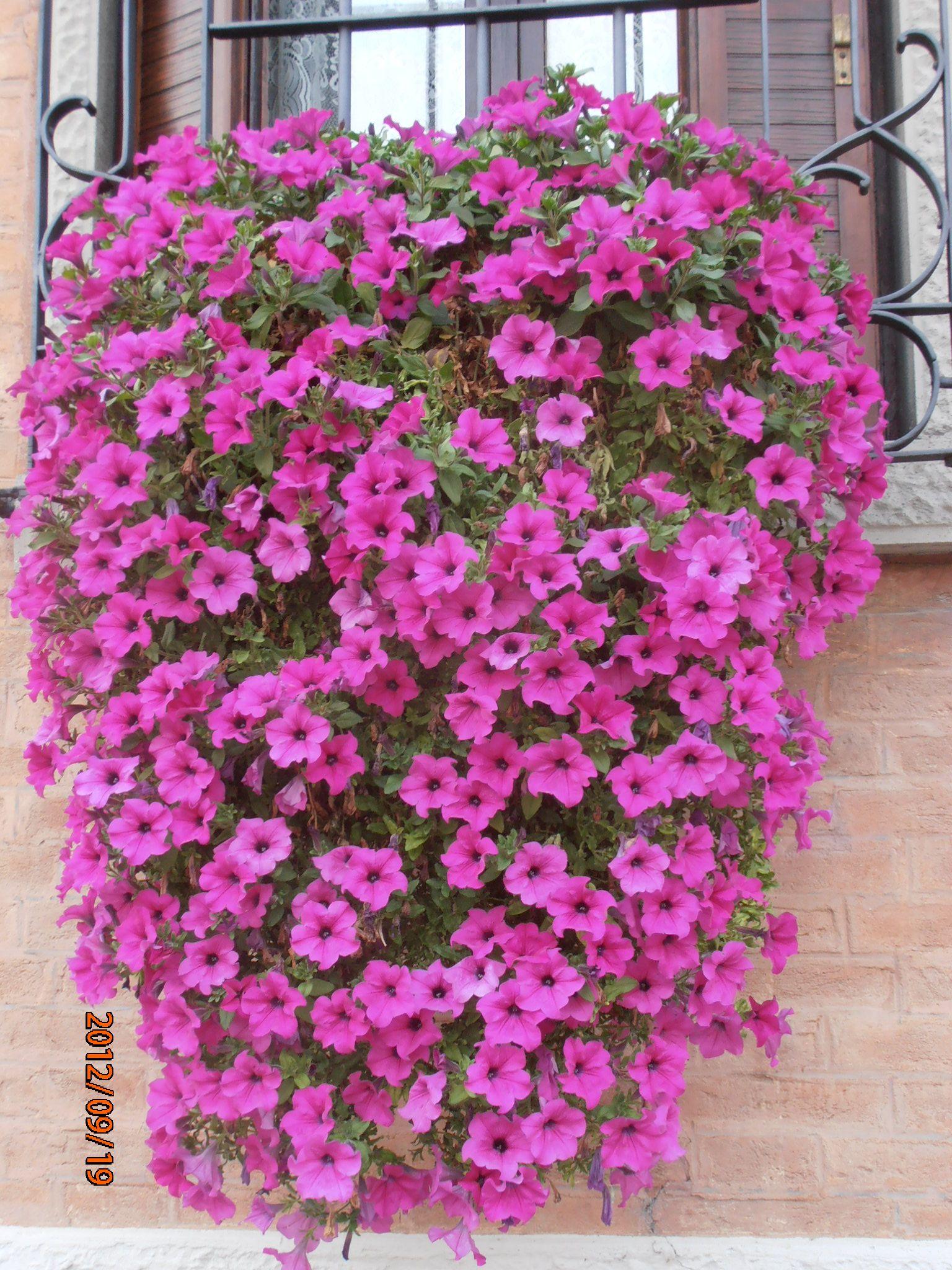 CASCATA DI FIORI | Petunias, Ventanas, Flores