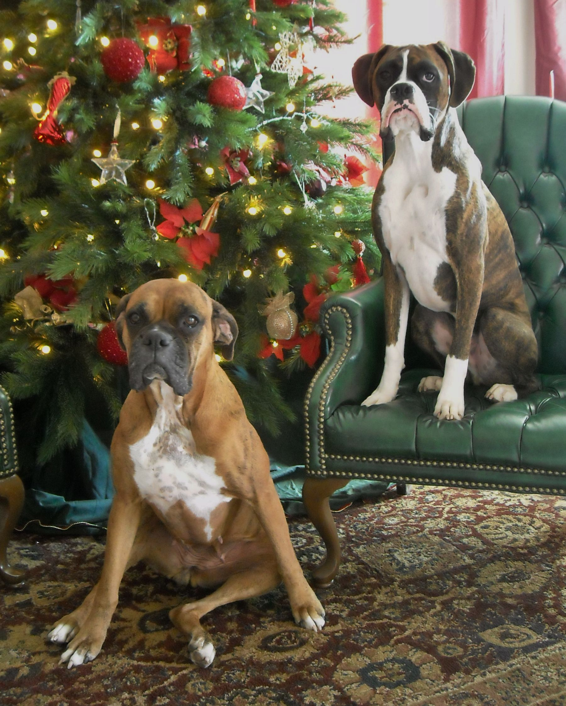 Holiday Boxers Boxer Dogs Boxer Dog Puppy Boxer And Baby
