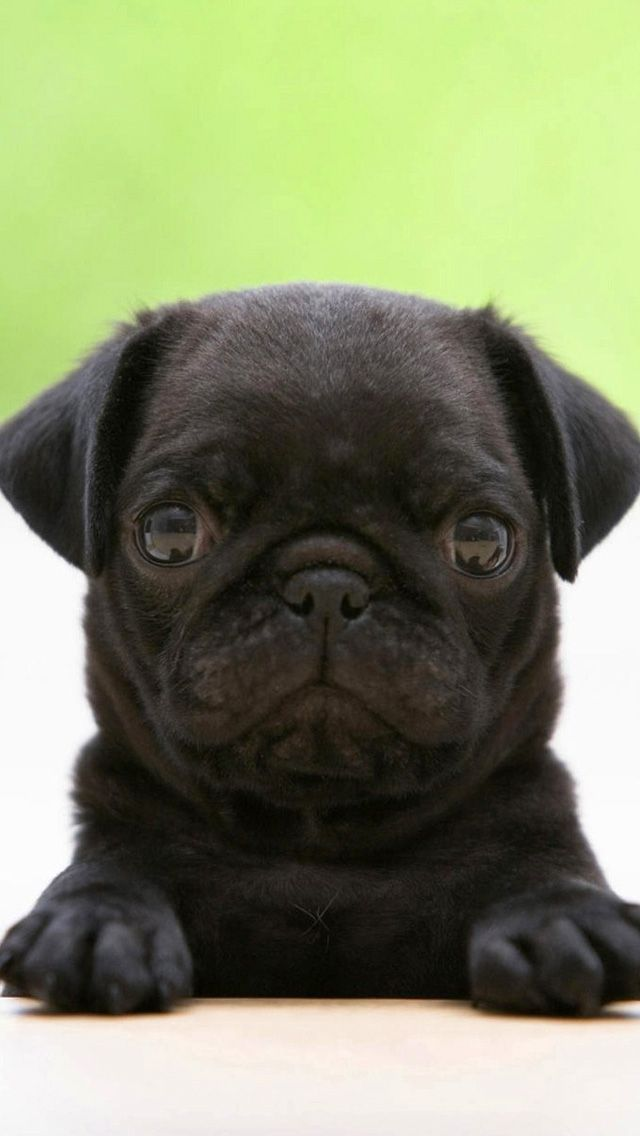 Black Pug The Iphone Wallpapers Black Pug Puppies Cute Pugs Pug Puppies