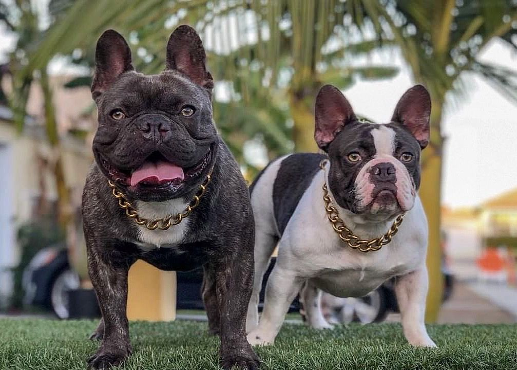 Affordable Luxury Dog Collar Bullies Co Dogchain Dogcollar