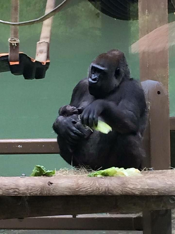First baby gorilla born in TN in 35 years  so sweet!  2015 June