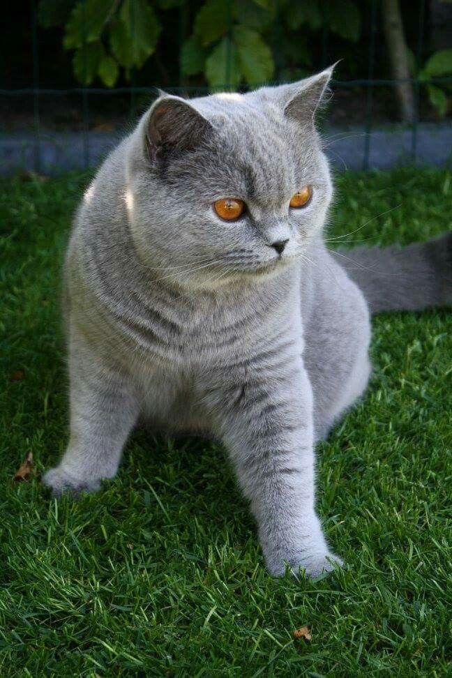 1 Year Old British Shorthair Jolle British Shorthair Cats British Shorthair Animals