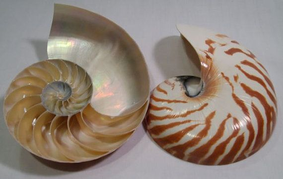 3 Pack Nautilus Shell Display Stands Holds Large Shells