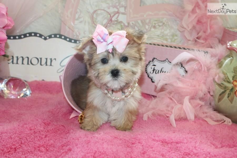 Morkie / Yorktese puppy for sale near Fort Lauderdale