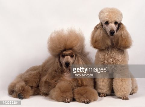 Beautiful Standard Long Hair Poodle Puppy Standard Standard Poodle Teddy Bear Poodle Puppy