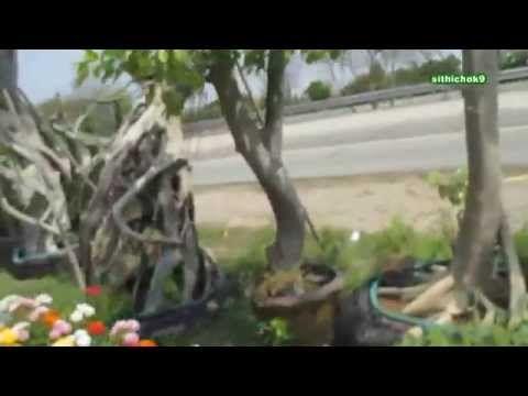 ผกากรองเสียบยอดดอกหลากสี ; ข้างทางสุพรรณบุรี , 樹木,花草,泰國,Trees, Thailand