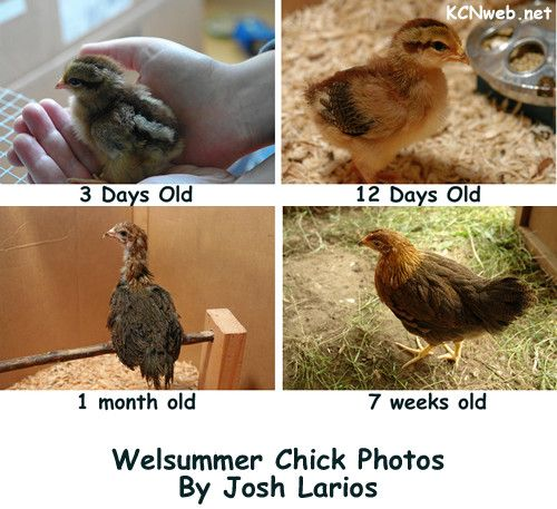 Growth Of Welsummer Pullet Chicken Breeds Chickens Pinterest