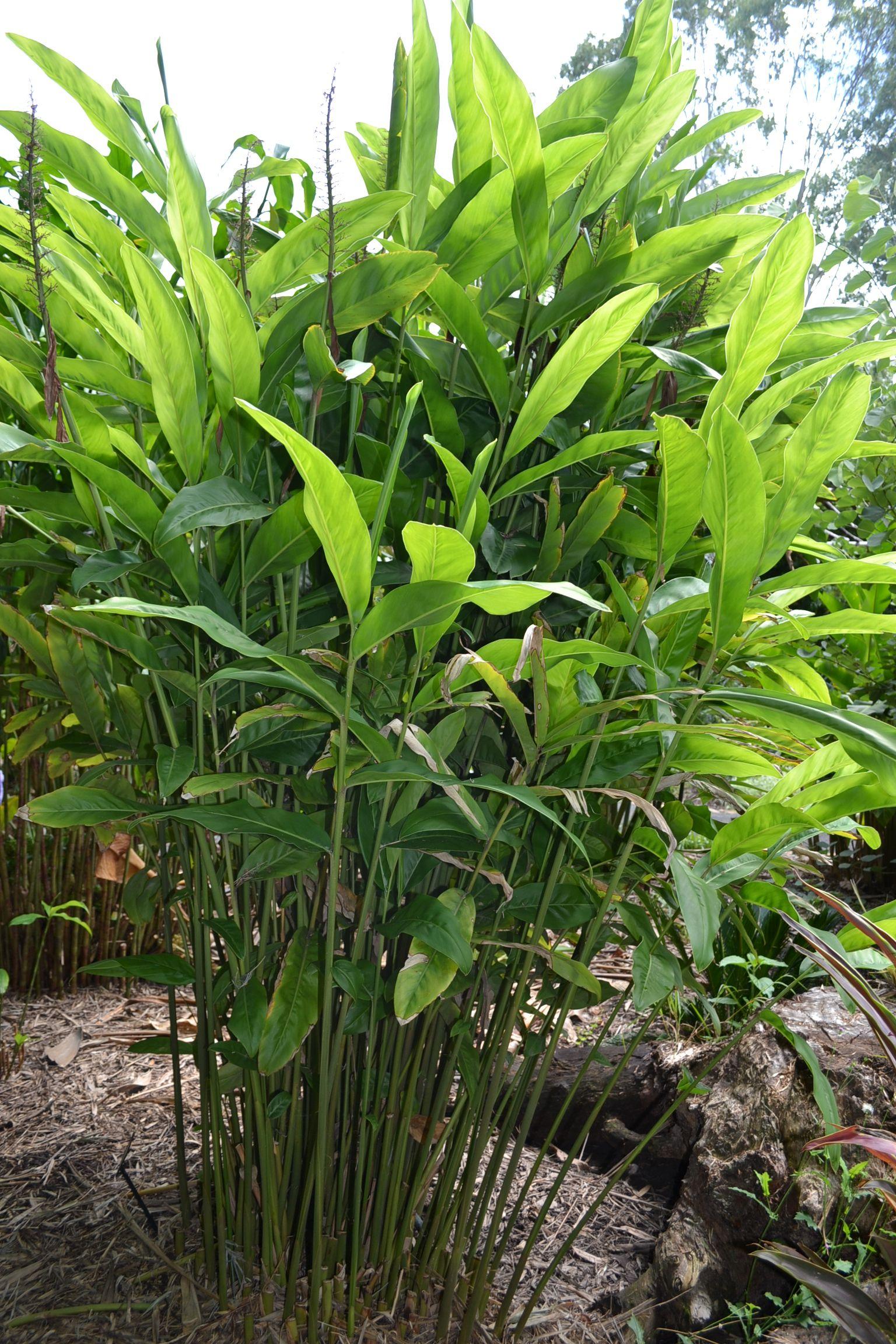 Edible Galangal Ginger Plant Australian Plants Australian Garden Design Australian Garden