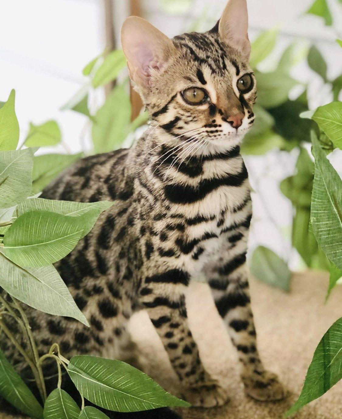 F1 Bengal Breeder In 2020 Savannah Cat Breeders Cats And Kittens Savannah Kitten