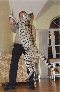 savannah cat, is big, no kidding Chats exotiques