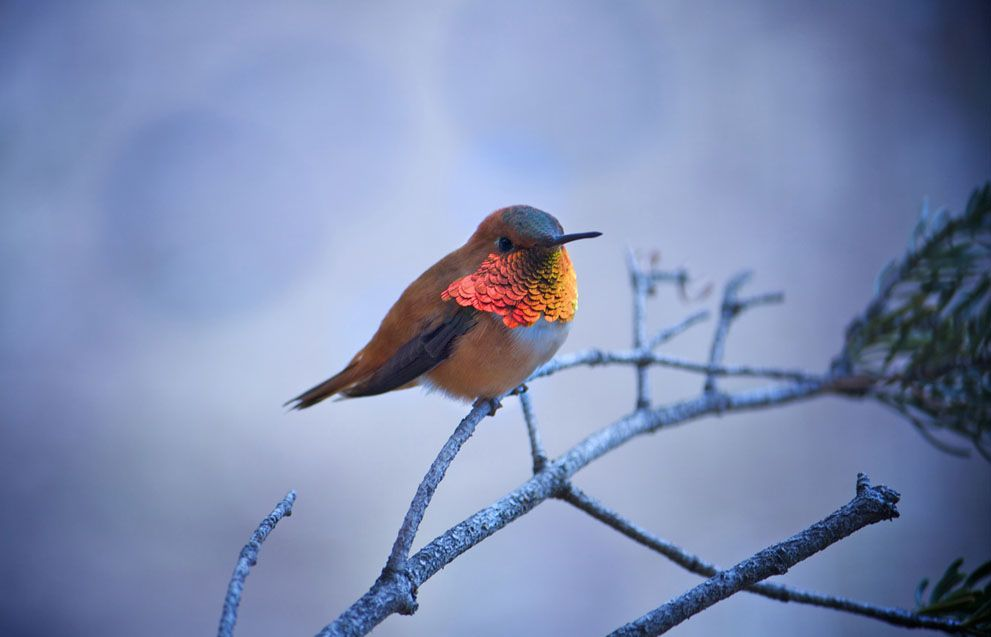 A Rufous humming bird takes a much need break on a pine tree, boasting his beautifully bright chest. (© Cael Cook)