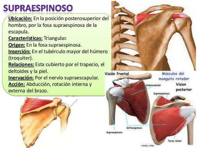 Músculos miembro superior | Enfermería | Pinterest | Músculos ...