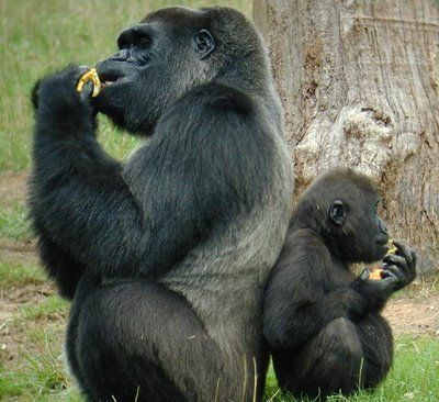 Chimpanzee father and son