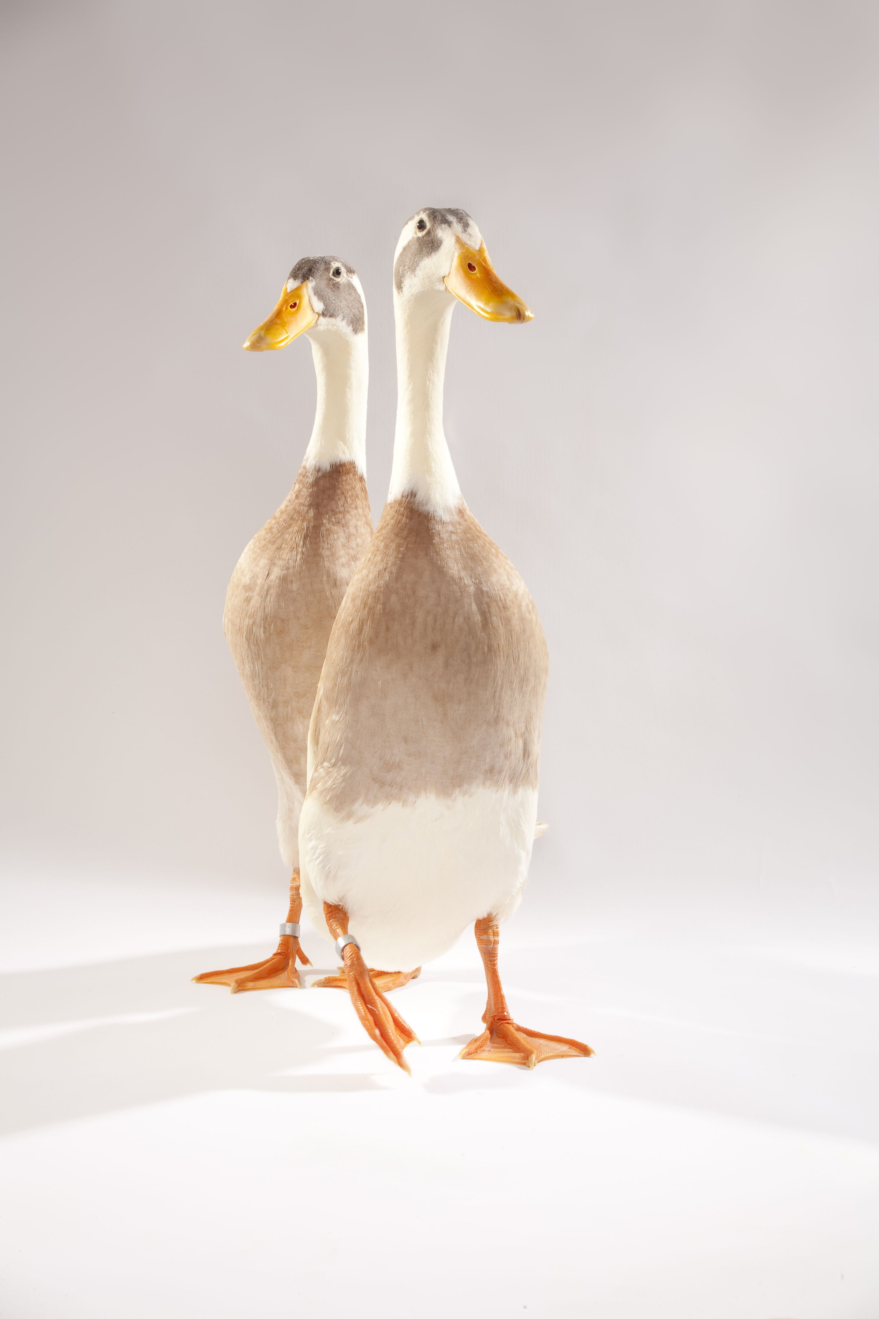 indian runner duck oregon zoo clay pinterest zoos bird