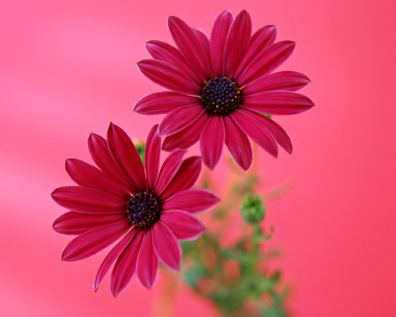Red Gerbera Daisy Wallpapers HD Wallpapers