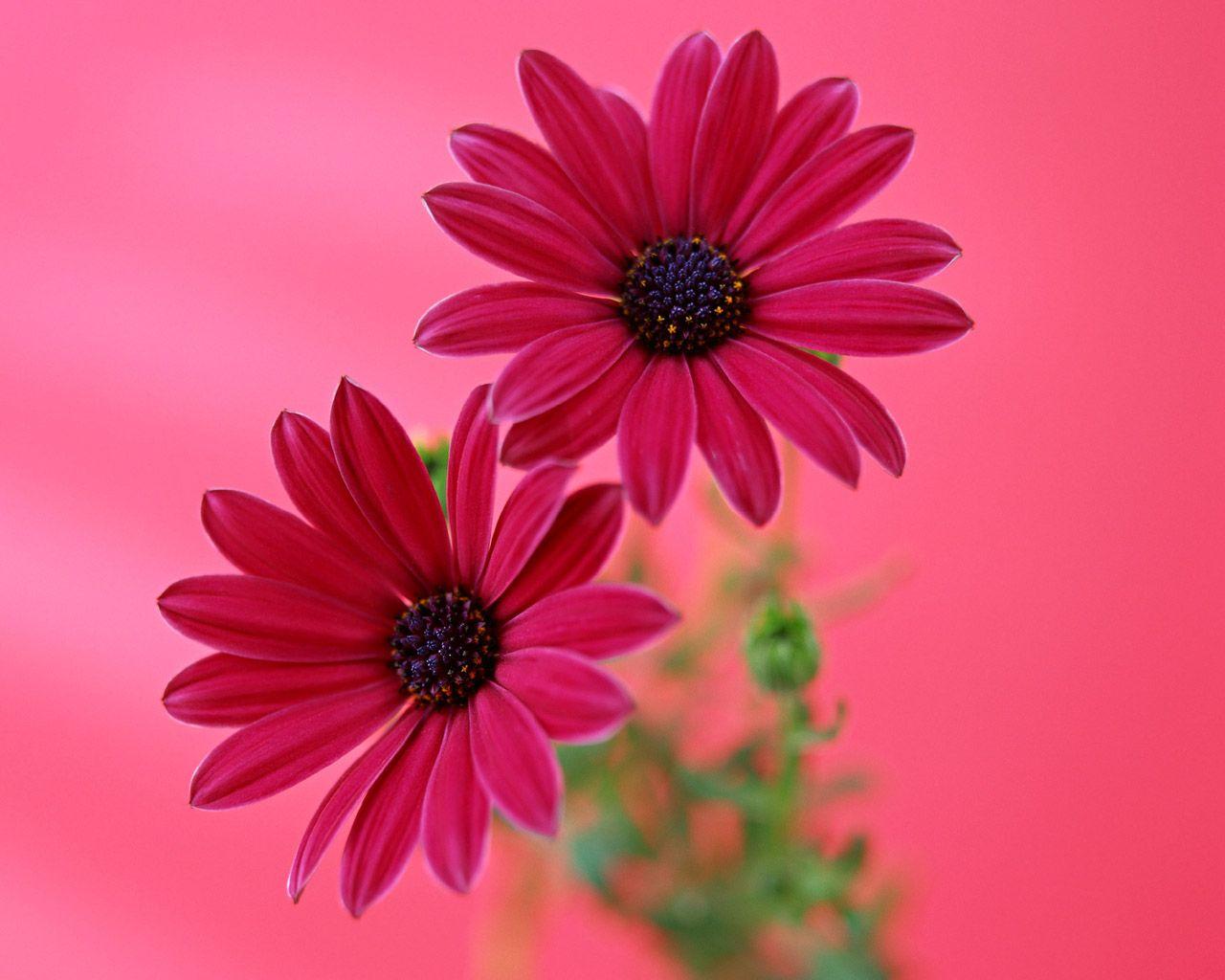 Gerbera daisy desktop flores plantas pinterest gerbera and gerbera daisy desktop izmirmasajfo