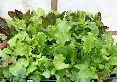 lettucecontainers