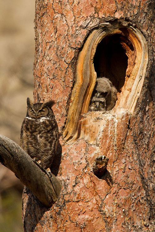 Great Horned Owl By lfbaxter