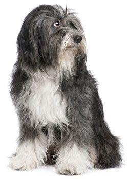 Tibetan Terrier Tibetan Terrier Dog Breeds Terrier