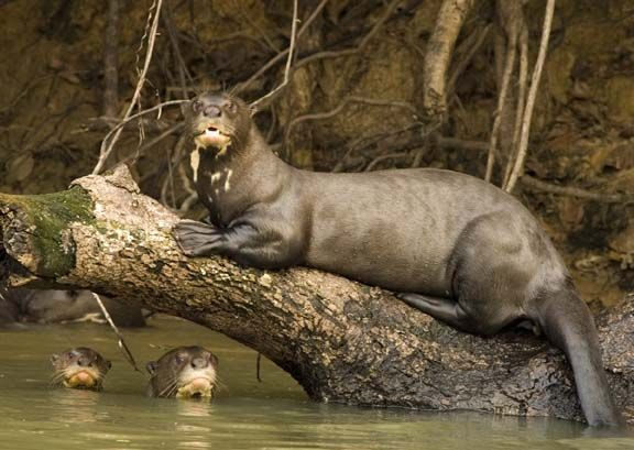 R O U S S I Didn T Think They Existed Otter Facts Otters