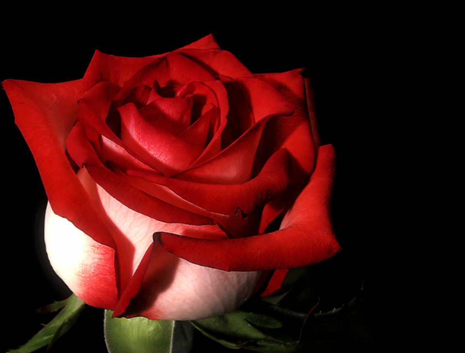 Fire Ice Rose Fire And Ice Roses Red Roses Love Rose