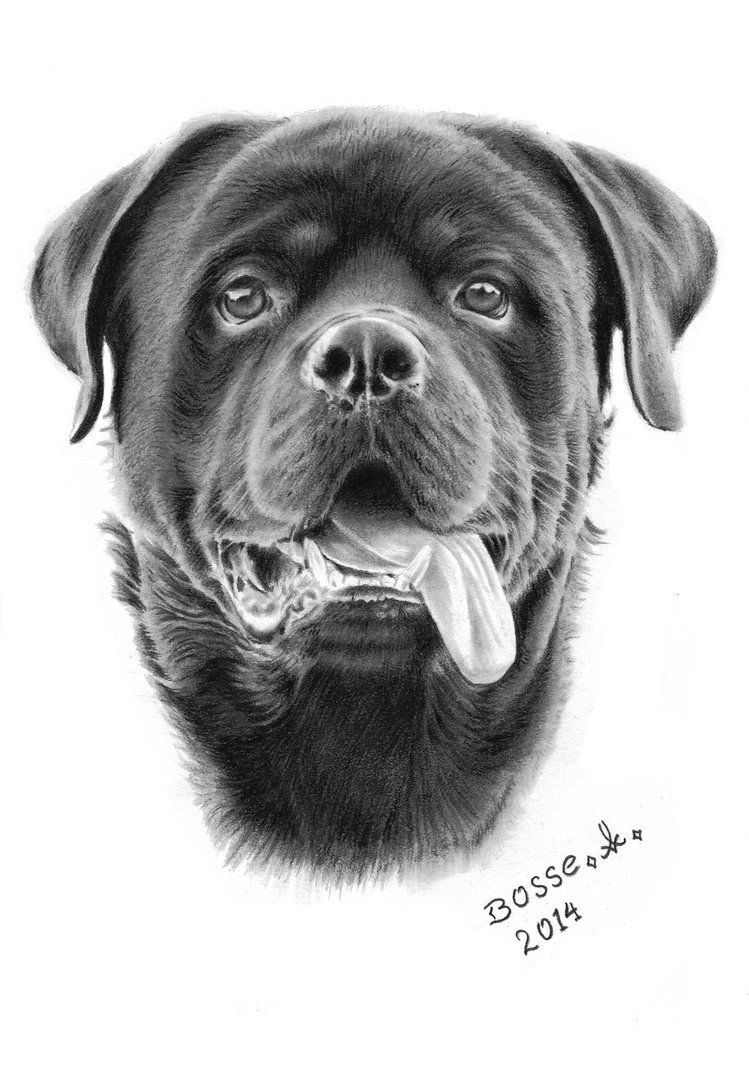 Rottweiler 2 By Torsk1 On Deviantart Dog Sketch Rottweiler Tattoo Canine Art