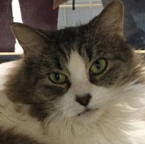 Adopt Shakara On Long Haired Cats Adoption Cats