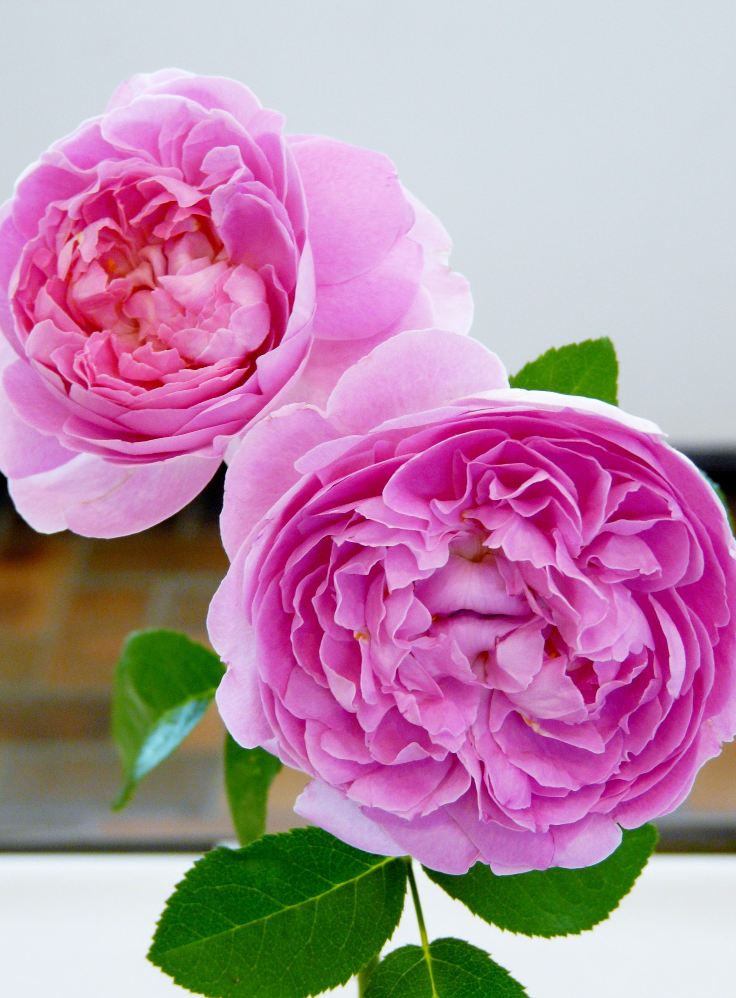 Chicago botanic gardens aug 2013 rose competition