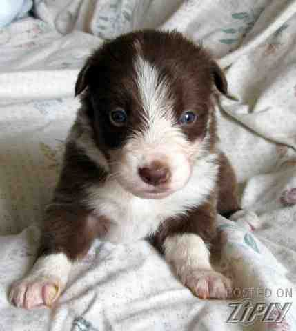 Border Collie Pups In Carthage Nc Ready To Take Home Dec 10th