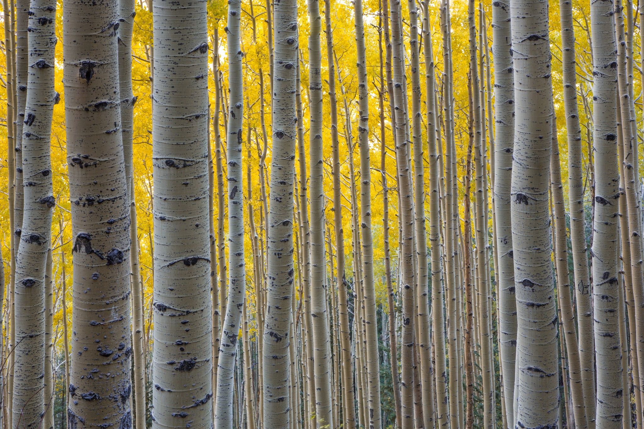 aspen lines by Paul Gill on 500px