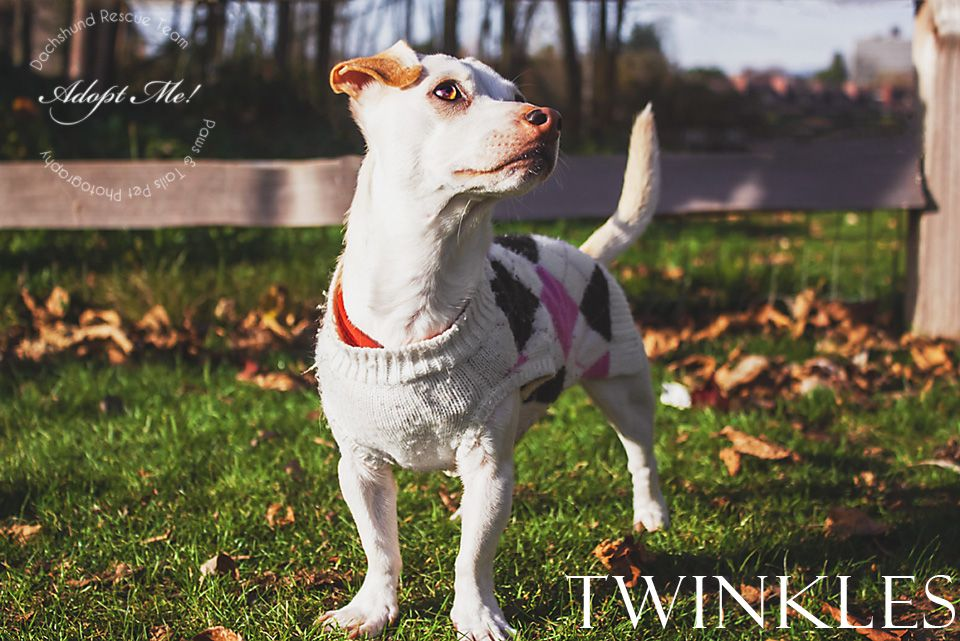 TWINKLES is available for adoption from Dachshund Rescue Team! If you would like to adopt her or learn more about her please contact Dachshund Rescue Team  http://www.dachshundrescueteam.org/ Photo is ©Paws & Tails Pet Photography 2013 http://pawsandtail2.wix.com/welcomer