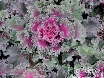 Red Chidori Kale Edible Landscaping Vegetables Garden Plants