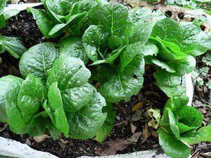 quelles salades semer et planter pour l 39 automne et l 39 hiver m ches chicor es scaroles. Black Bedroom Furniture Sets. Home Design Ideas