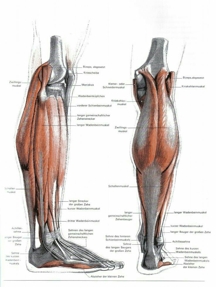 Großartig Anatomie Der Achillessehne Muskel Ideen - Anatomie und ...