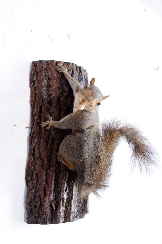 Real Taxidermy Squirrel Wall Hanging Climbing By Emporiox