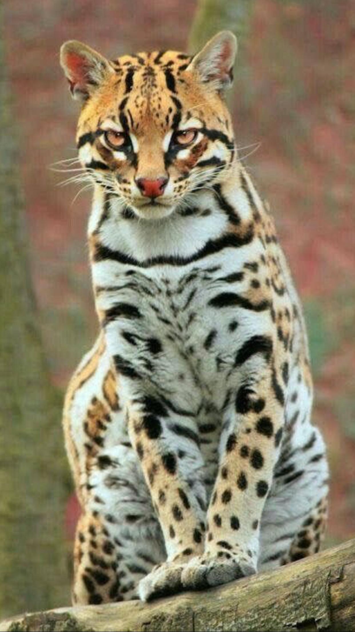 Wild cats, Big cats, Animals