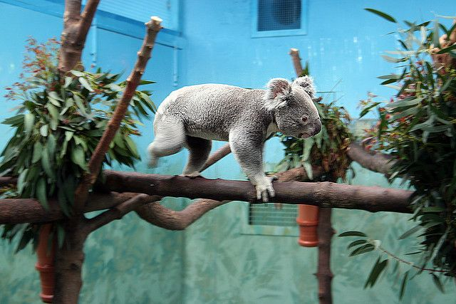Koala Bear At Edinburgh Zoo Edinburgh Zoo Koala Bear Koala