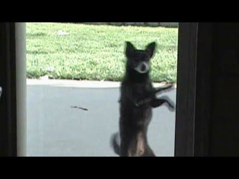 Cute Dog Salsa Dancing Dogs Cute Dogs Funny Animal Videos