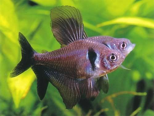 News Reviews Article Aquarium Fish Tetra Fish Pet Fish