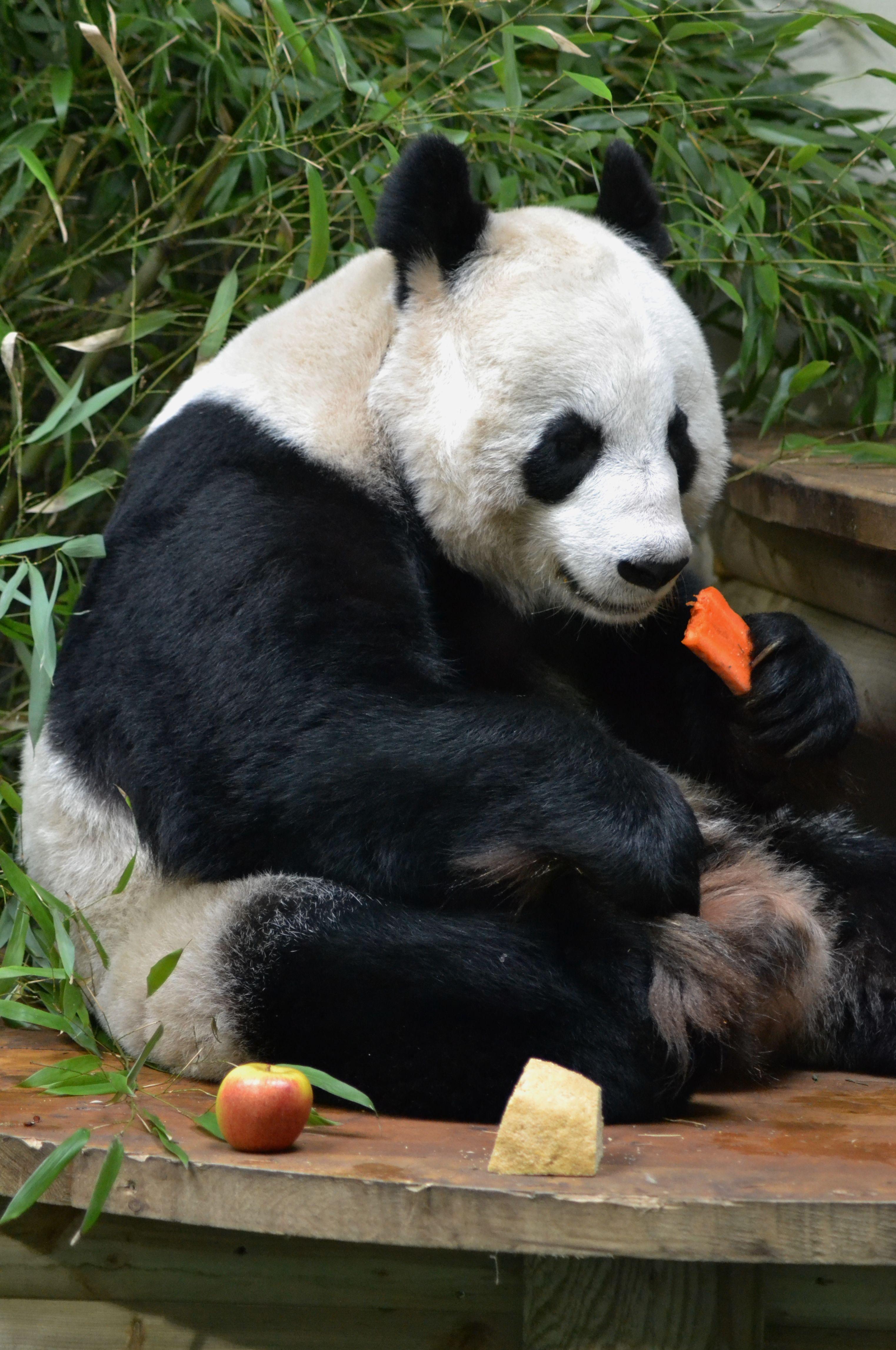 Giant Panda Tian Tian At Edinburgh Zoo In Scotland Ailuropoda Melanoleuca Panda Bear Panda Panda Love