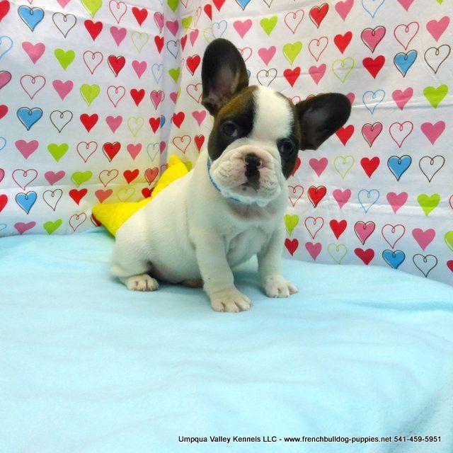 Zsa Zsa Pups Akc French Bulldog Puppies For Sale Akc French