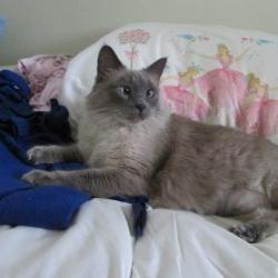 Adopt Jade On Pet Finder Cats Ragdoll Siamese