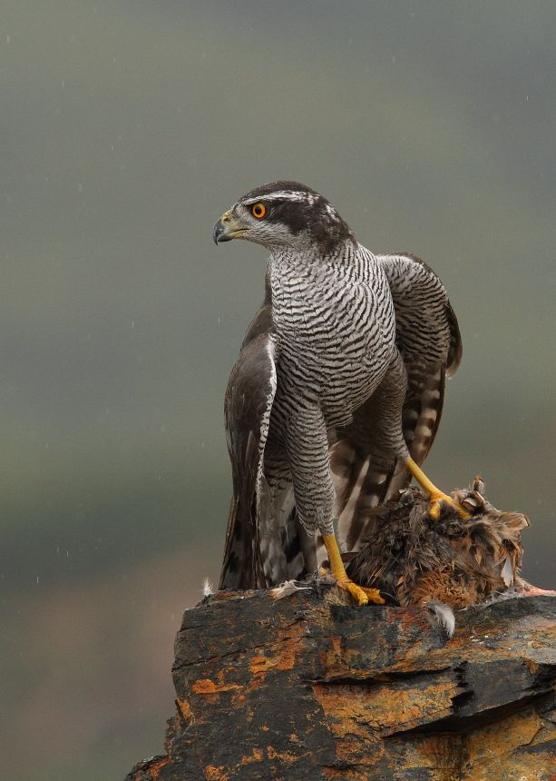 Northern Goshawk - A common bird in Spain - #NorthernGoshawk