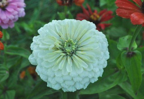 Белые цветы – фото и названия. Выбираем растения с белыми ...