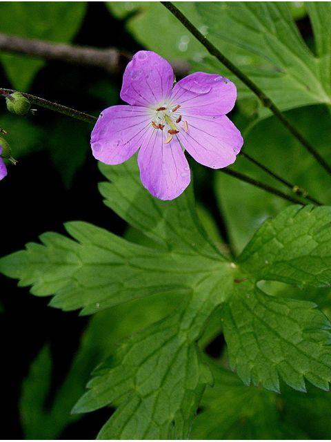Geranium maculatum (Spotted geranium, Wild geranium ...