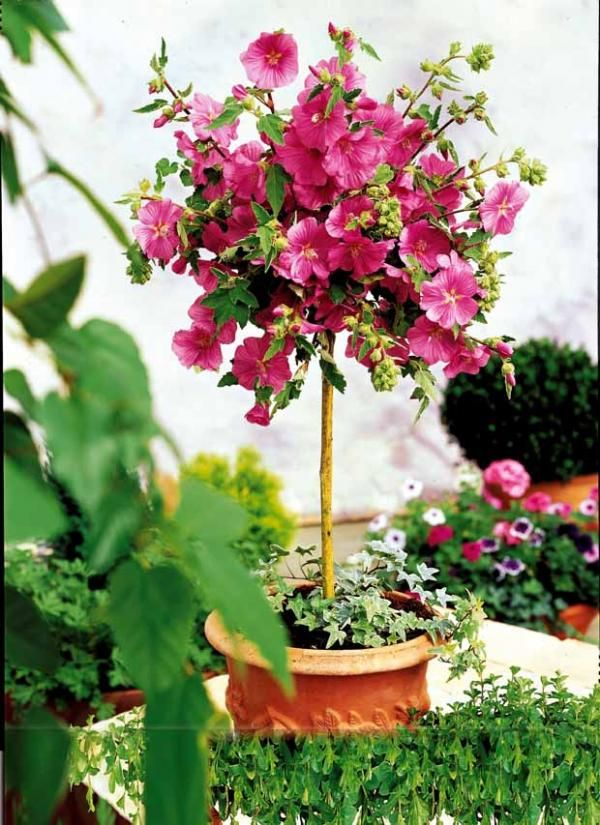 lavat re 39 burgundy wine 39 sur tige mini plantes pour petit jardin pinterest arbuste sur. Black Bedroom Furniture Sets. Home Design Ideas