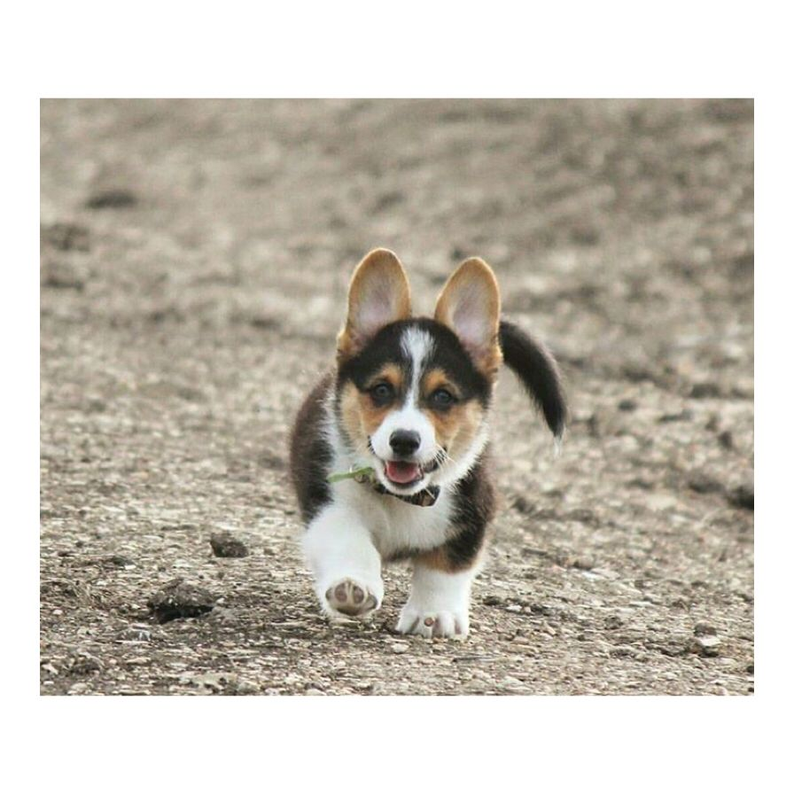 Walking out of work on a Friday. #dogs #subscriptionbox #puppies  Pawpalswithannie.com Photo credit: @babyyargo_thecorgi