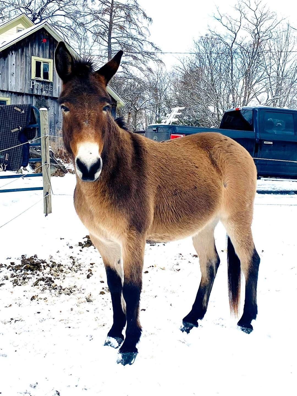 Pangare Mule in 2020 | Horse coloring, Animals beautiful ...