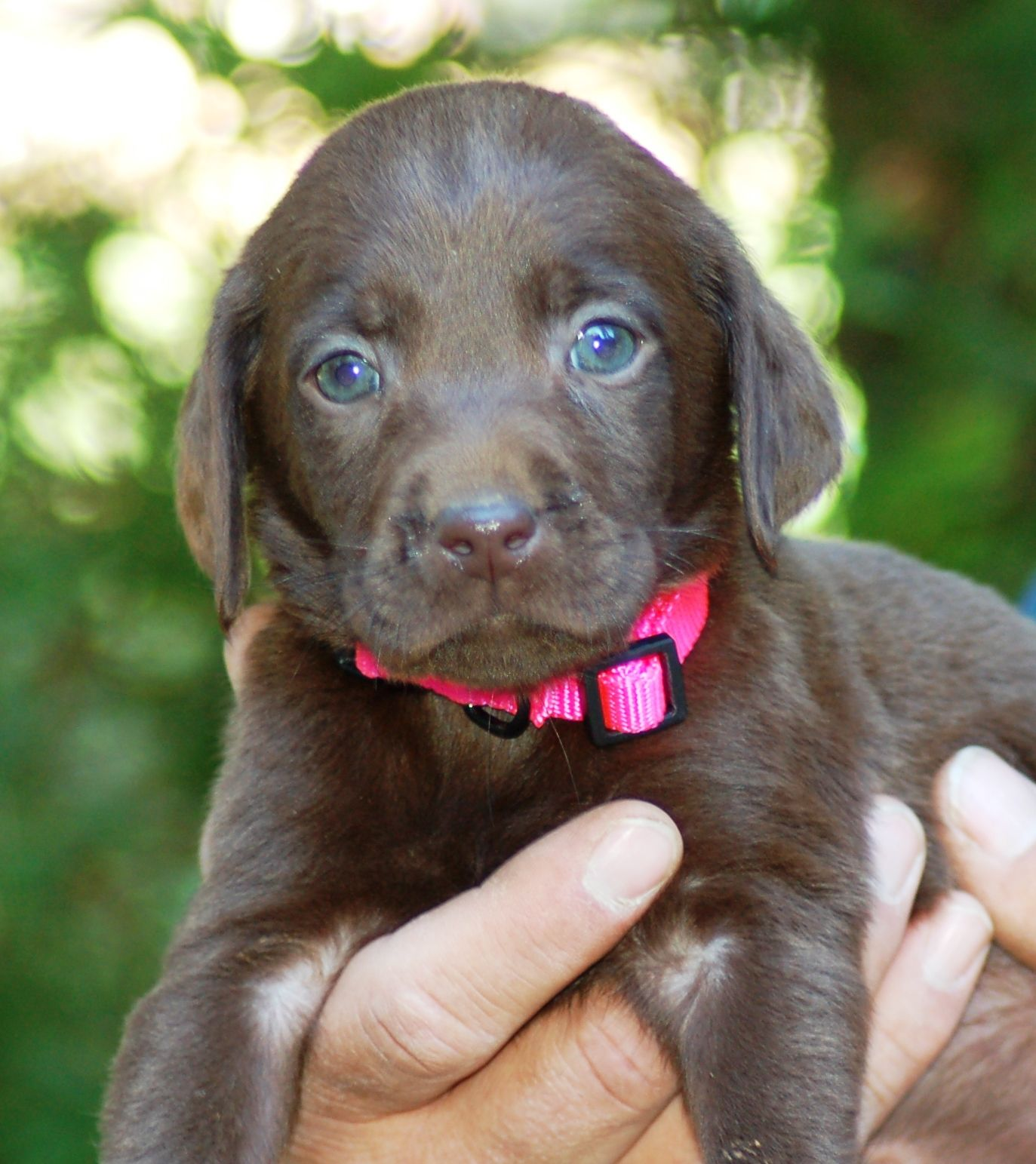 MMKennels.com female chocolate Lab pup   Marble Mountain Kennels ...